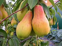Саджанці груші Талгарська Красуня