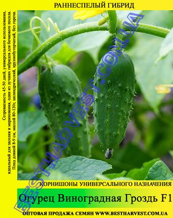 Семена огурца Виноградная Гроздь F1 0,5кг, фото 2