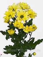 Хризантема желтая ромашковая