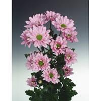 Хризантема розовая ромашковая