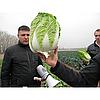 РИЧИ F1 - семена капусты пекинской, 1 000 семян, Sakata