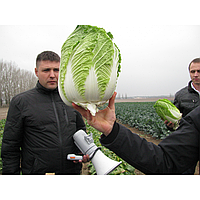 РИЧИ F1 - семена капусты пекинской, 1 000 семян, Sakata, фото 1