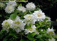 Клематис Duchess of Edinburgh (Герцогиня Эдинбургская)