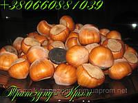 Плоды крупноплодного фундука Трапезунд в скорлупе