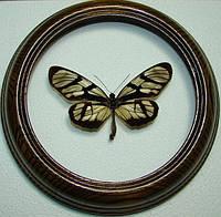 Сувенир - Бабочка в рамке Ituna lamirus. Оригинальный и неповторимый подарок!