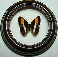 Сувенир - Бабочка в рамке Adelpha capucinus. Оригинальный и неповторимый подарок!