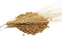 Семена ярового ячменя Сталкер 1 репродукция