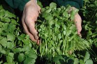 Семена кориандра Карибе (Caribe). Упаковка 500 гр. Производитель Bejo Zaden