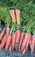 Семена моркови Канада F1 (Canada F1).  Упаковка 25 000 семян (фр. 1,6-1,8). Производитель Bejo Zaden