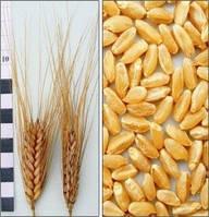 Яровая пшеница Нащадок 1 репродукция