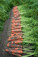 Семена моркови Ниланд F1 (Niland F1). Упаковка 1 млн. семян (фр. 1,6 - 1,8). Производитель Bejo Zaden