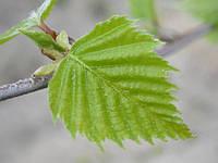 Листья берёзы