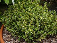 Тимьян лимонопахнующий  кустовой ваиегата