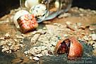 """Шоколадные конфеты ручной работы """"Горячая вишня с перцем"""", 1 шт, 20 г., фото 5"""