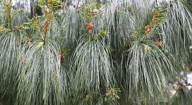 Сосна біла Китайська Аrmandii 2 річна, Сосна белая Китайская / Арманда , Pinus armandii