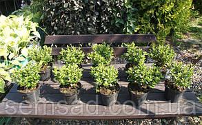 """Азалия японская """"Ледиканенс """"( саженец 2 года) Azalea japonica Ledicanense, фото 3"""