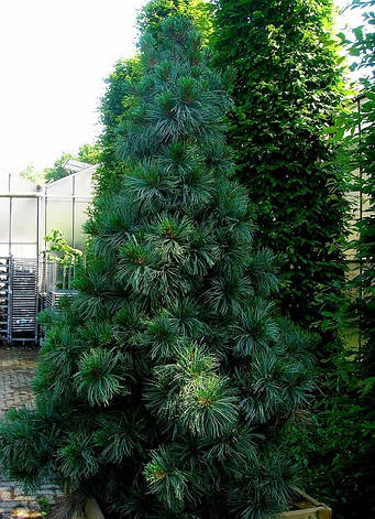 Сосна кедрова корейська / Кедр Корейський 2 річна, Сосна кедровая корейская / Кедр Корейский, Pinus koraiensis, фото 2