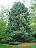 Сосна кедрова корейська / Кедр Корейський 2 річна, Сосна кедровая корейская / Кедр Корейский, Pinus koraiensis, фото 3