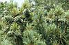 Сосна кедрова корейська / Кедр Корейський 2 річна, Сосна кедровая корейская / Кедр Корейский, Pinus koraiensis, фото 6