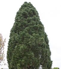 Сосна чорна Pyramidalis 2 річна, Сосна черная Пирамидалис, Pinus nigra Pyramidalis, фото 3