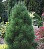 Сосна чорна Pyramidalis 2 річна, Сосна черная Пирамидалис, Pinus nigra Pyramidalis, фото 4