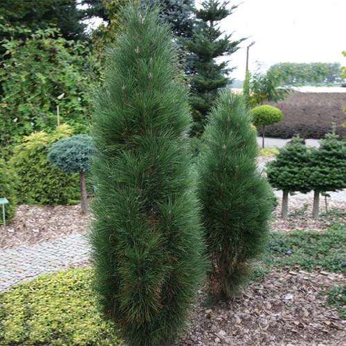 Сосна чорна Pyramidalis 2 річна, Сосна черная Пирамидалис, Pinus nigra Pyramidalis