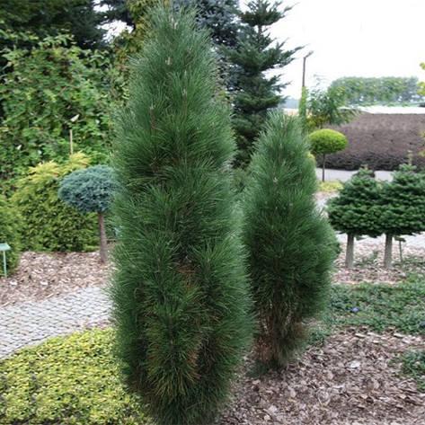 Сосна чорна Pyramidalis 2 річна, Сосна черная Пирамидалис, Pinus nigra Pyramidalis, фото 2