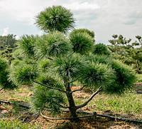 Сосна Веймутова / біла східна 2 річна, Сосна Веймутова / белая восточная, Pinus strobus