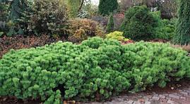 Сосна гірська карликова Pumilio 2 річна, Сосна горная / карликовая Пумилио, Pinus mugo Pumilio, фото 2