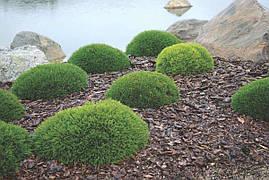 Сосна гірська карликова Pumilio 2 річна, Сосна горная / карликовая Пумилио, Pinus mugo Pumilio, фото 3