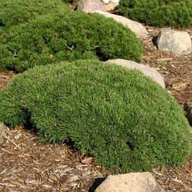 Сосна гірська карликова Pumilio 2 річна, Сосна горная / карликовая Пумилио, Pinus mugo Pumilio