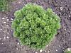 Сосна гірська карликова Pumilio 2 річна, Сосна горная / карликовая Пумилио, Pinus mugo Pumilio, фото 5