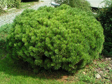 Сосна гірська карликова Rotundata 2 річна, Сосна горная / карликовая Ротундата, Pinus mugo var. Rotundata