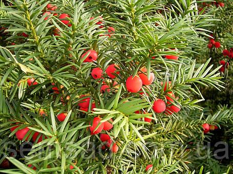 Taxus baccata Fastigiata Aureomarginata. Тис ягодный Фастигиата Ауреомаргината р9, фото 2