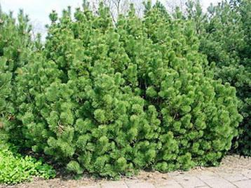 Сосна гірська карликова Montana 2 річна, Сосна горная / карликовая Монтана, Pinus mugo Montana, фото 2