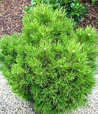 Сосна гірська карликова Montana 2 річна, Сосна горная / карликовая Монтана, Pinus mugo Montana, фото 3