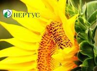 Семена подсолнечника HC-X-6343,Нертус Агро,Сербия