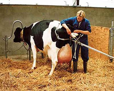 Рис. 6. Надання рододопомоги корові в стоячому положенні