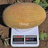 Семена дыни Мазин F1 (МАФ 35 F1) / Mazin F1 (MAF 35 F1), 1000 семян, фото 2