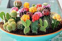 Подкормка кактусов и не только