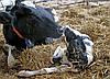 Організація менеджменту по наданню рододопомоги коровам