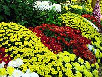 Выращиваем и размножаем хризантемы