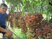 Саженцы винограда Кишмиш Велес (корнесобственные)