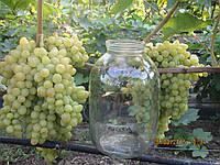 Саженцы винограда Кишмиш Володар (привитые)