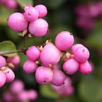 Снежноягодник Розовый, фото 1