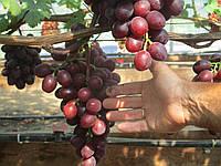 Саженцы винограда Эверест (корнесобственные)