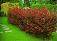 Декоративные и цветущие кустарники купить саженцы для сада