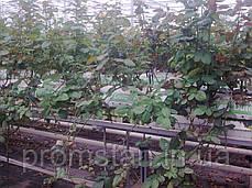 Тепличный лоток под розу с низким бортом, фото 3