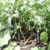 МАБЕЛ F1 - семена баклажана, Enza Zaden