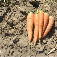 Семена моркови Колтан F1. Упаковка 100 000 семян (фр. 1,6-1,8). Производитель Bayer Nunhems)